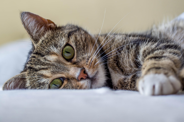 Лечить глаукому у кошки