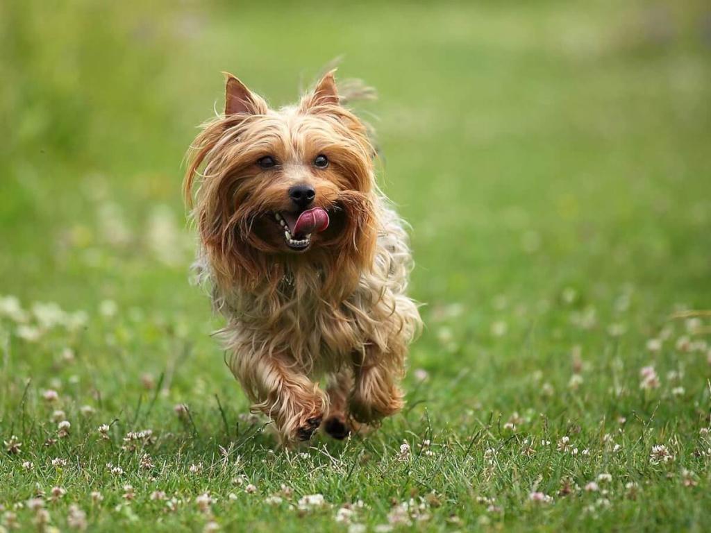 картинки собаки австралийский терьер сайте собраны