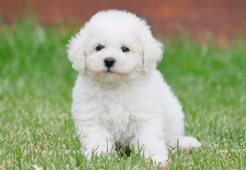 французская болонка самая умная порода собак.jpg