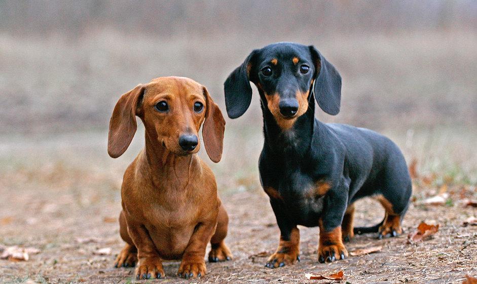 щедрая порода собак такса фото тормозной
